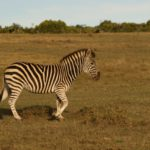 Zebra on the plains