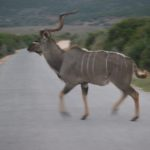 Crossing Kudu