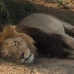 The lions sleeps at night