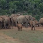 Elephants meeting